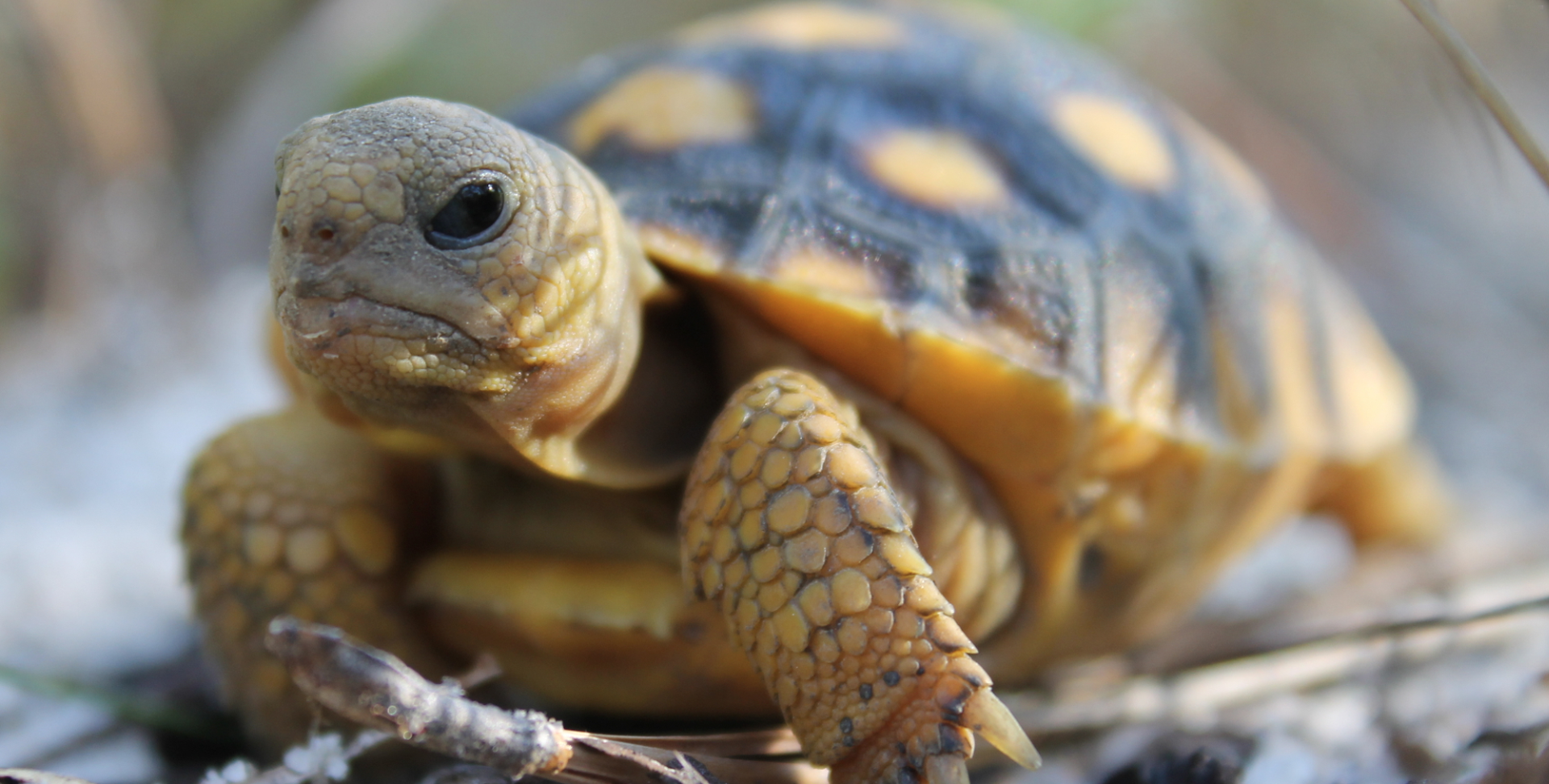 Gopher Tortoise Council